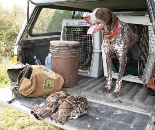 Ruffed grouse hunting in northern NH with a german shorthaired pointer