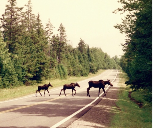 Moose viewing on Moose Alley in Pittsburg, NH