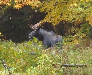 Moose Viewing At Tall Timber Lodge Pittsburg Nh